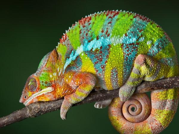 Image result for Fun Information Regarding Chameleons
