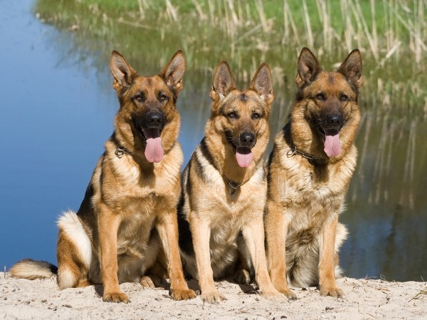 Cool German Shepherds Army Adorable Dog - 2013-09-bigstock-Tree-Shepherds-Sitting-Near-Fr-1770605-B6037615-800x600-XL  Perfect Image Reference_6952  .jpg