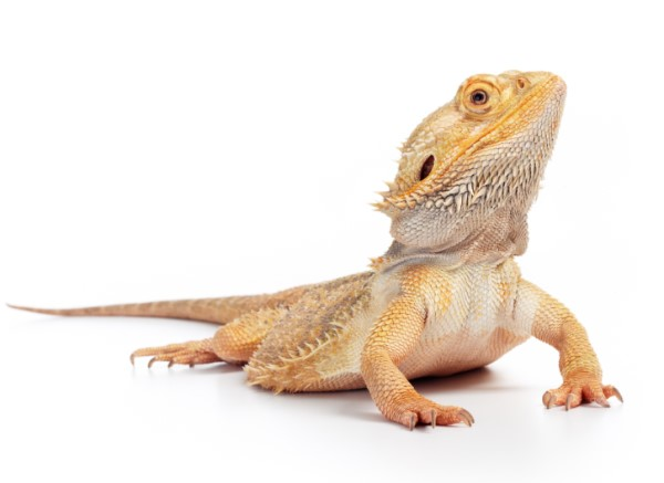 Bearded Dragon Amaga Lizard Petstarter