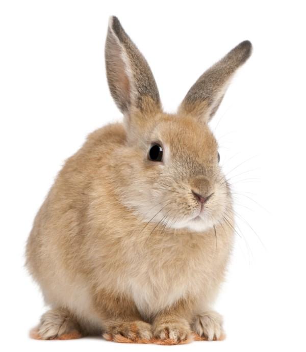 House Rabbit Petstarter