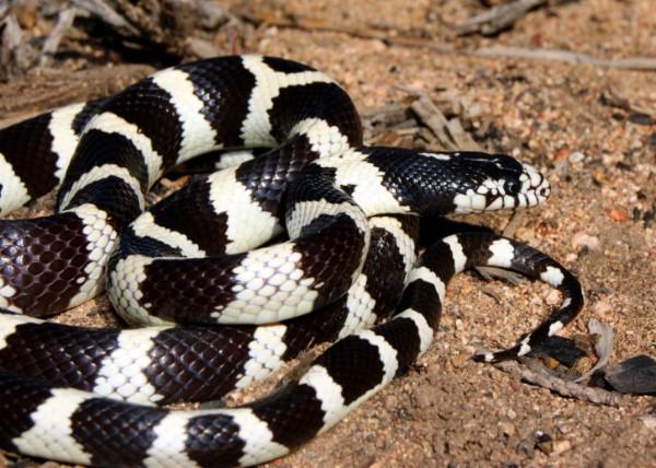King And Milk Snakes Petstarter